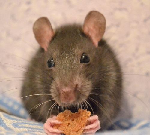 Защита от грызунов в квартире и частном доме