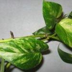 Содержание сциндапсуса золотистого и других растений дома